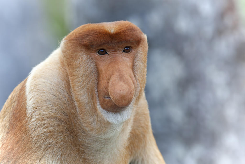 Proboscis-monkey-000028711874_Medium
