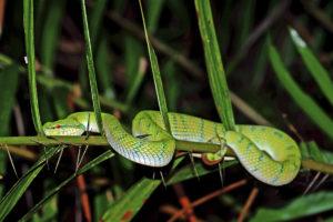 White-lipped pitviper, Bako National Park, Sarawak, Borneo, Mala